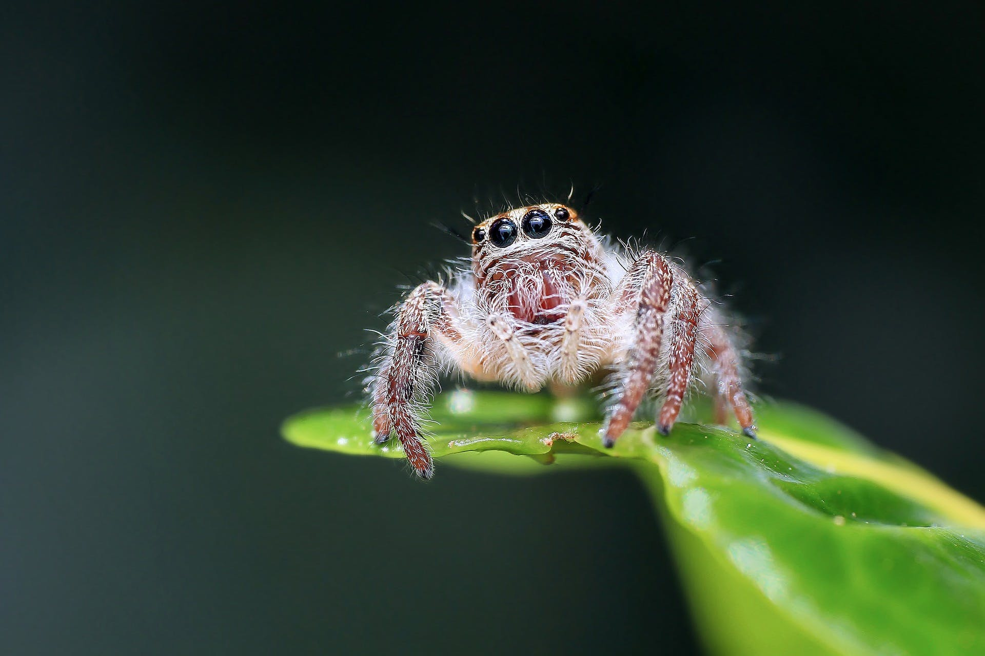 This is a jumping spider