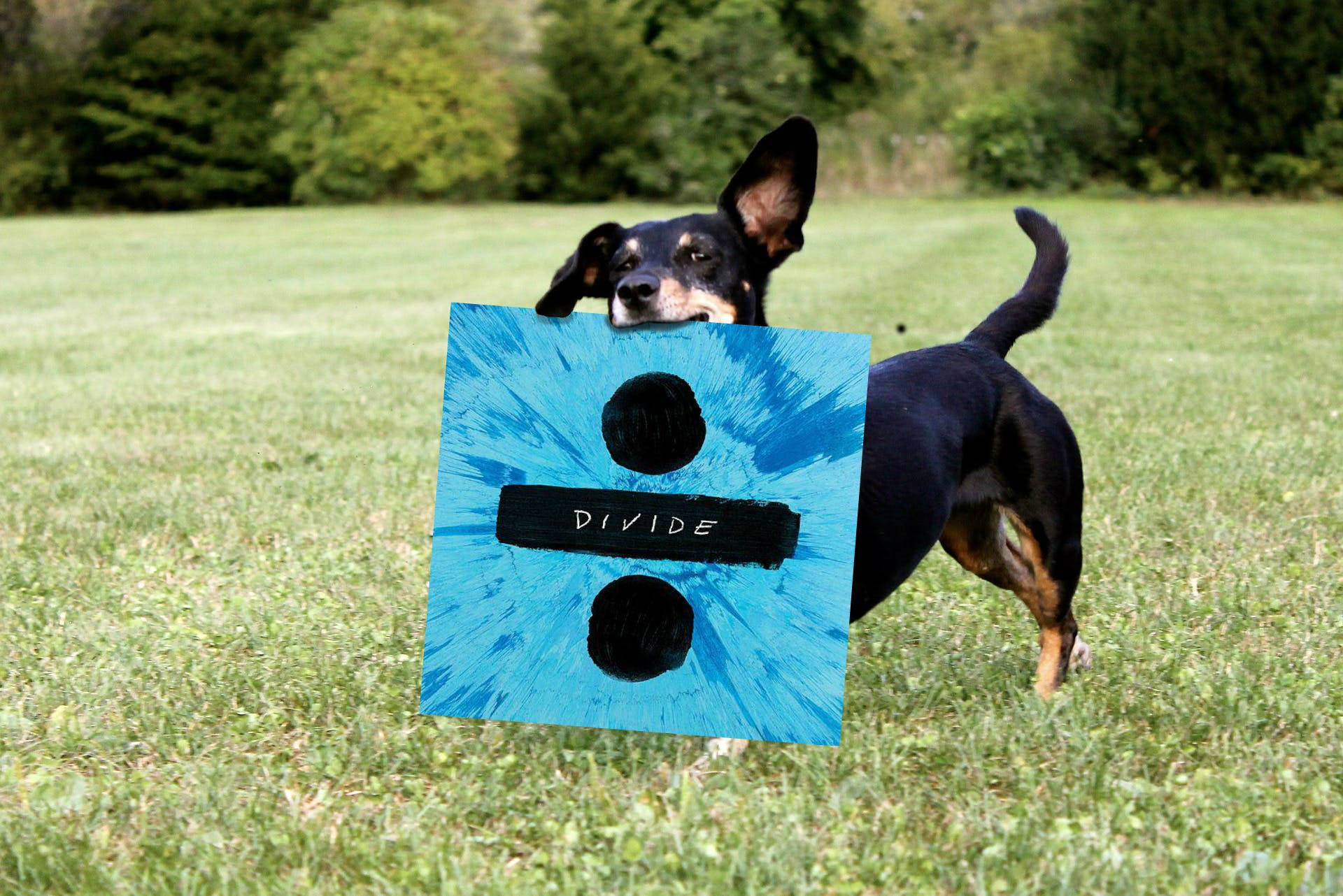 This is a dachshund holding a copy of Ed Sheeran's new album Divide