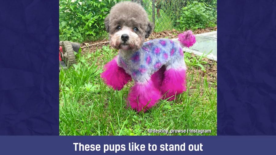 A dog with dyed pink hair and Monsters Inc fur