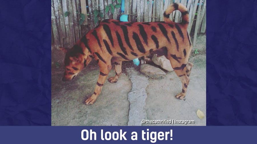 This dog looks EXACTLY like a tiger