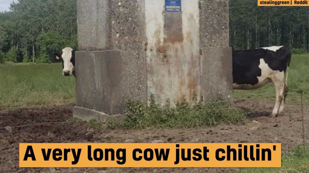A very long cow photo illusion