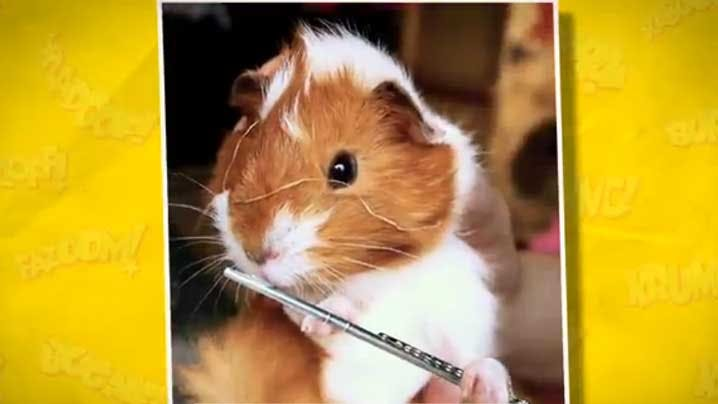 Guinea Pig playing the Flute