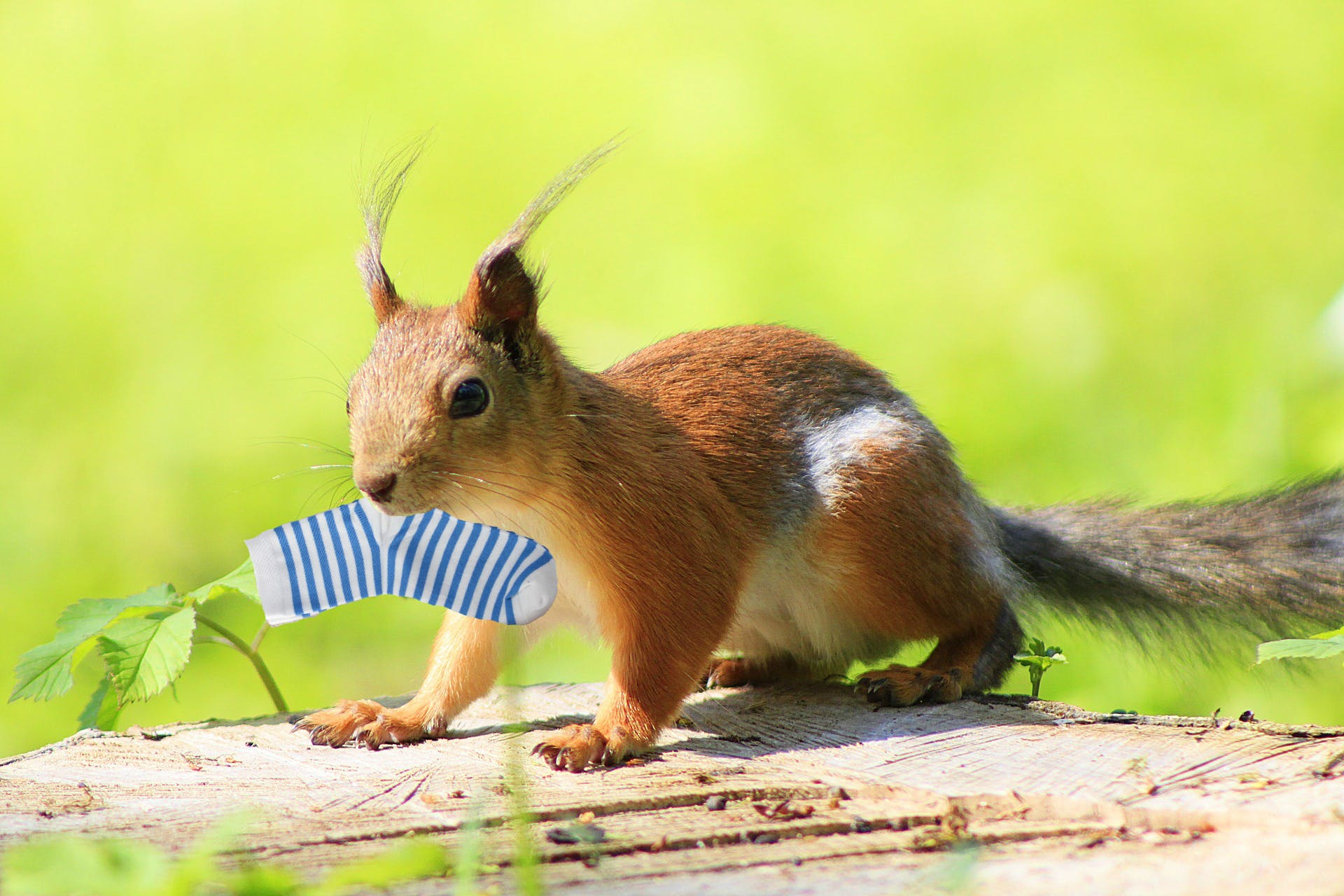 Here's a squirrel with a sock in its mouth