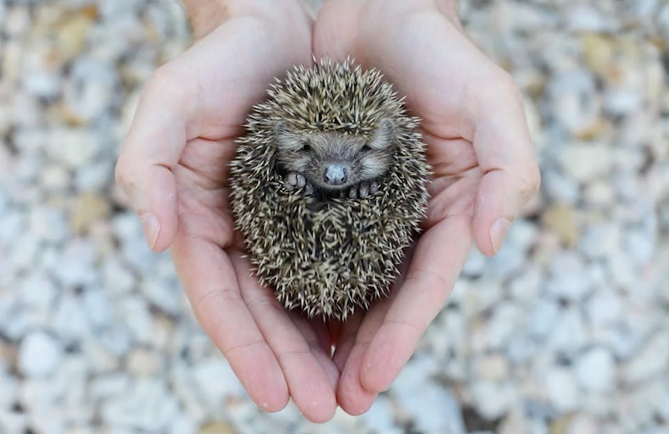 A baby hedgehog is known as a hoglet