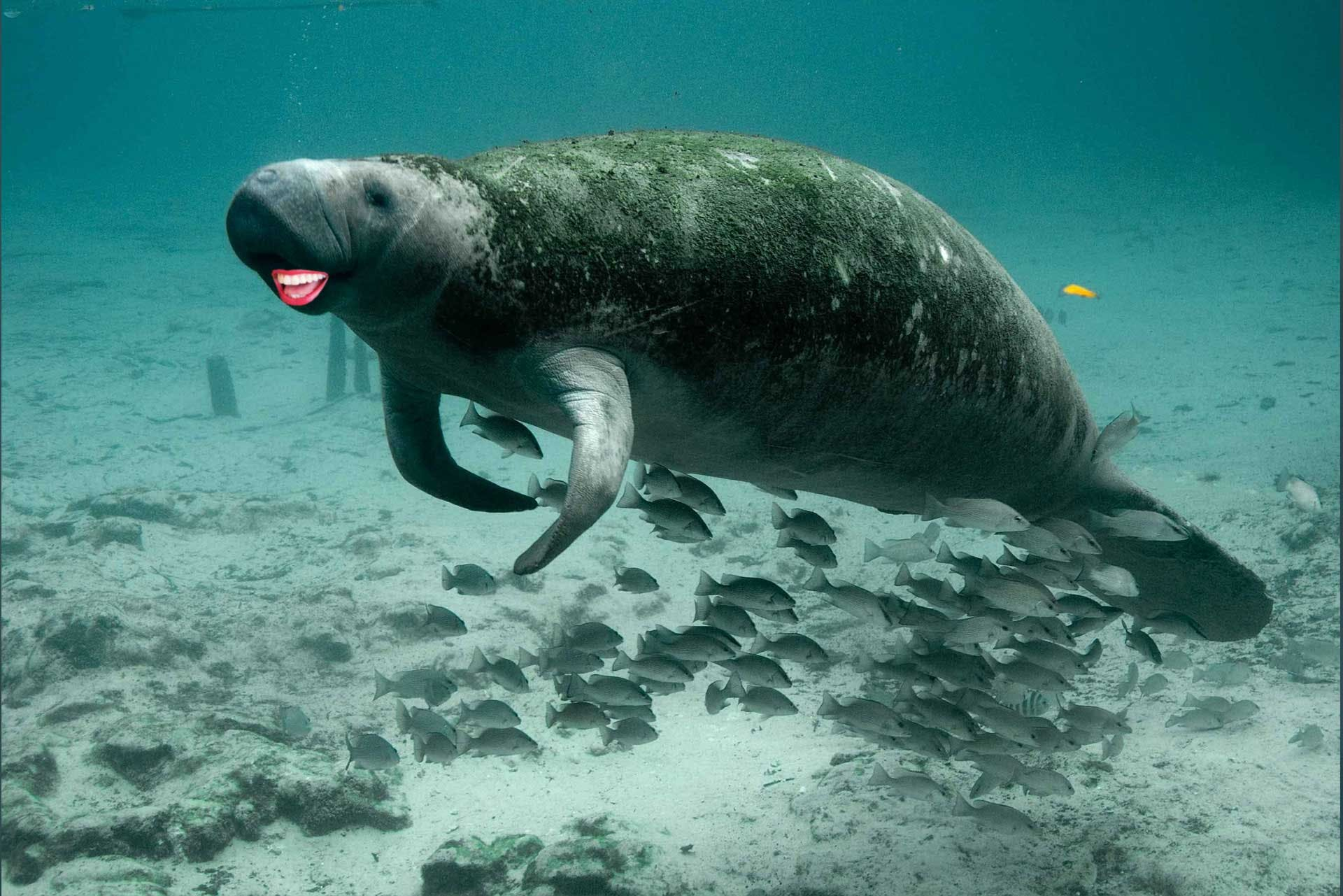 Manatee with human mouth